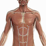 The Muscles Of The Torso Poster