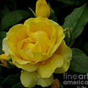Yellow  Rose Of Summer Poster
