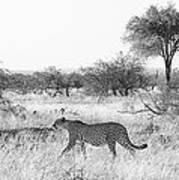 Three Cheetahs At Mashatu Poster