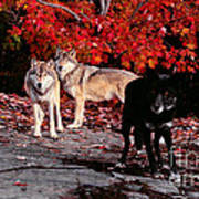 Timber Wolves Under  A Red Maple Tree Poster