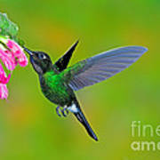 Tourmaline Sunangel Hummingbird Poster