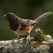 Towhee Poster