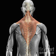 Trapezius Muscle With Skeleton Poster