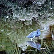 Tri Colored Heron Poster