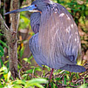 Tricolored Heron Egretta Tricolor Poster