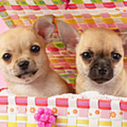 Two Chihuahuas Poster by Greg Cuddiford