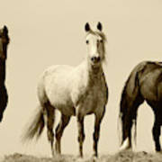 Usa, Wyoming, Young Wild Stallions Poster
