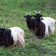 Valais Blackneck Goats Poster
