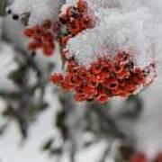 Viburnum Shrub In Snow Poster