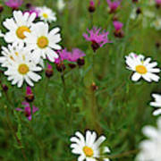 View Of Daisy Flowers In Meadow Poster