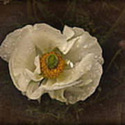 Vintage White Poppy Poster