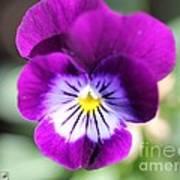 Viola Named Sorbet Plum Velvet Jump-up Poster