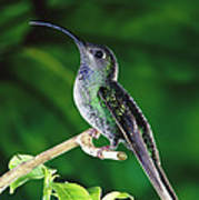 Violet Sabre-wing Hummingbird Poster by Michael and Patricia Fogden