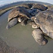 Volcan Alcedo Giant Tortoises Wallowing Poster by Tui De Roy