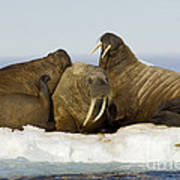 Walruses Resting On Ice Floe Poster