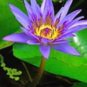 Water Lily 20 Poster