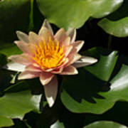 Exotic Colors - A Soft Coral Waterlily Poster