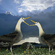 Waved Albatross Courtship Dance Poster by Tui De Roy