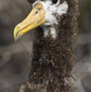 Waved Albatross Molting Juvenile Poster