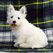 West Highland White Terrier Puppy Poster