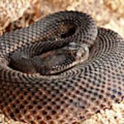 Western Diamondback Rattlesnake Poster