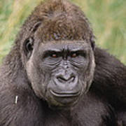 Western Lowland Gorilla Young Male Poster