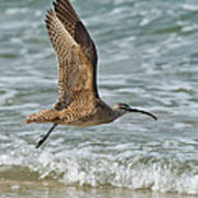 Whimbrel In Flight Poster