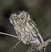 Whiskered Screech Owl Poster