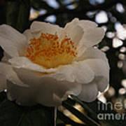 White Camellia Poster