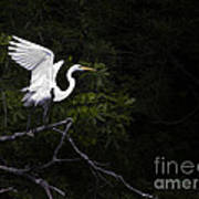 White Egret's Takeoff Poster
