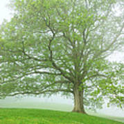 White Oak Tree In Fog Poster
