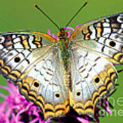 White Peacock Butterfly Anartia Poster