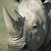 White Rhinoceros Portrait Poster