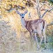 White Tail Deer Bambi In The Wild Poster