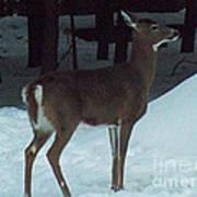 White Tail Deer Poster by Brenda Brown