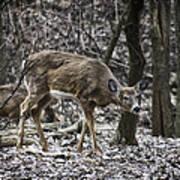White-tail Deer Poster