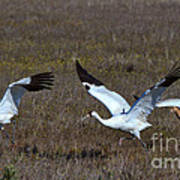 Whooping Cranes Poster