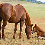 Wild Horse Mother And Foal Poster