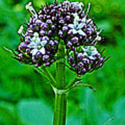 Wild Mint On Great Glacier Trail In Glacier National Park-british Columbia Poster