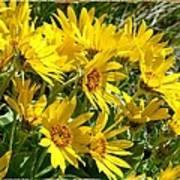 Wild Okanagan Sunflowers Poster