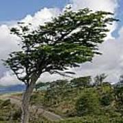 Wind-bent Tree In Tierra Del Fuego Poster