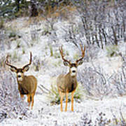 Winter Bucks Poster