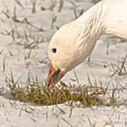 Wintering Snow Goose Poster