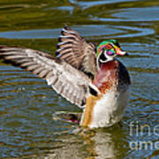 Wood Duck Drake Flapping Wings Poster