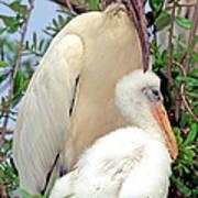 Wood Stork Mycteria Americana Poster