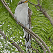 Yellow-billed Cuckoo Poster