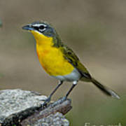 Yellow-breasted Chat Poster