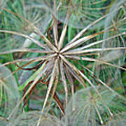 Yellow Goat's Beard Wildflower Seed Head - Tragopogon Dubius Poster