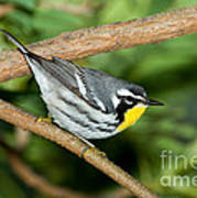 Yellow-throated Warbler Poster