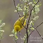 Yellow Warbler -1 Poster